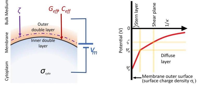 Células biológicas usam eletricidade também para se comunicar