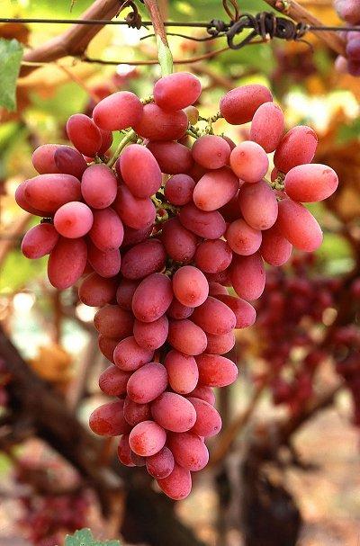 Suco de uva com mais resveratrol é tão bom quanto vinho tinto