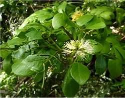 Pomada que cura o HPV é feita com planta medicinal