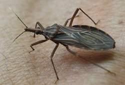 Cientistas anunciam cura para Doença de Chagas