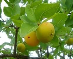 Cagaita: fruta do Cerrado é rica em vitamina C e antioxidantes