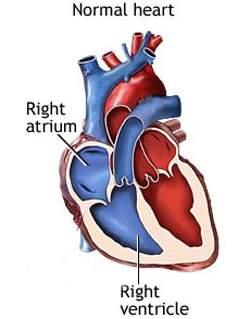 Dois estudos encontraram diferenças na distribuição dos canais iônicos de potássio entre corações de camundongos, usados nas pesquisas médicas, e os corações humanos, nos quais essas pesquisas são aplicadas.[Imagem: NIH]