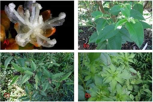 Plantas brasileiras inibem até 10 tipos de câncer